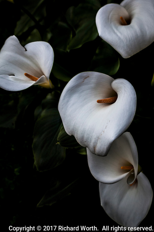 Five open Calla lilies, like funnels welcoming sun and rain, cold and wind.