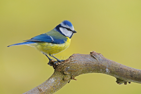 Blue Tit (Parus caeruleus), adult perched, Zug, Switzerland, Europe