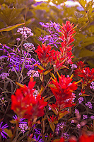 Red and purple wildflowers at Mt. Rainier