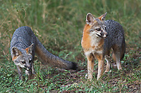 Gray Fox, Urocyon cinereoargenteus, pair, Hill Country, Texas, USA