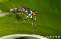 1225-0902  Long-Legged Fly, Family: Dolichopodidae  © David Kuhn/Dwight Kuhn Photography