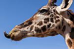 Safari West Sonoma Serengeti