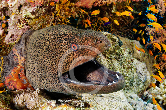 Gymnothorax javanicus, Riesenmuräne im Korallenriff, Giant moray eel, morayeel, Hurghada, Insel Giftun Riff, Rotes Meer, Ägytpen, Giftun Island Reef, Red Sea, Egypt
