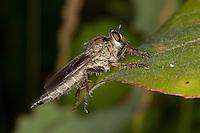Seiden-Raubfliege, Seidenraubfliege, Raubfliege, Weibchen, Machimus arthriticus, Breck Robberfly, robberfly, robber-fly, Raubfliegen, Mordfliegen, Asilidae, robberflies, robber flies