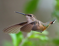 Immature rufous hummingbird in November