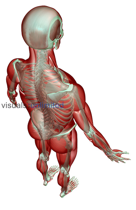 A superior posterolateral view (right side) of the musculoskeletal system. Royalty Free