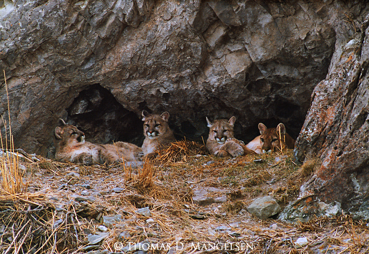 A mother mountain lion rests in her den with her three kittens and overlooks the National Elk Refuge in Jackson Hole, Wyoming.