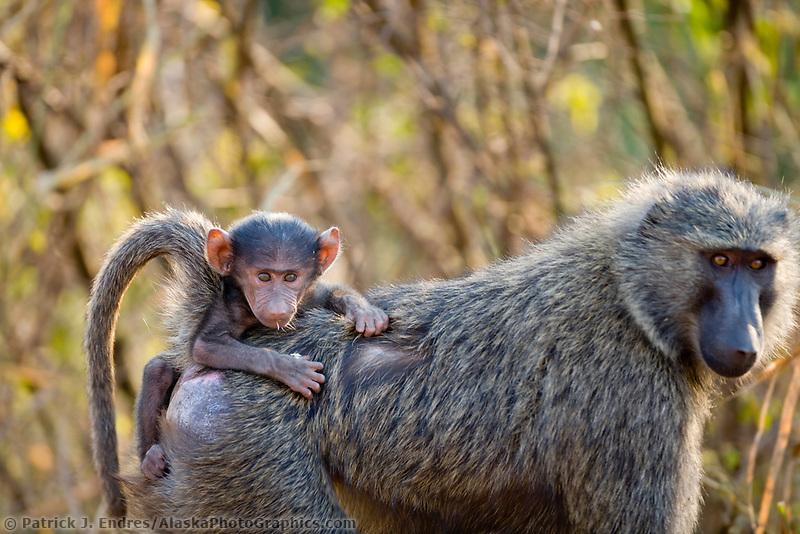 Olive Baboon, Queen Elizabeth National Park, Uganda, East Africa