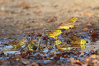 Goldammer, badend in Pfütze, Wasserloch, Gold-Ammer, Ammer, Emberiza citrinella, yellowhammer