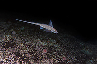 Ghost shark, Chimaera monstrosa, Trondheimsfjorden, Norway