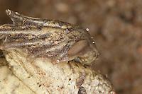 Knoblauchkröte, Knoblauch-Kröte, Grabschwiele an der Ferse, Fersenhöcker, Grabbein, Kröte, Pelobates fuscus, common spadefoot, garlic toad, Schaufelkröte, Krötenfrosch
