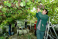 Estate workers take part in the annual grape picking harvest at Renishaw Hall in Derbyshire. Renishaw's vineyard was planted in the upper pasture in 1972.  Until 1986, the vineyard was certified as the most northerly in the world at  53 degrees 18 minutes North.