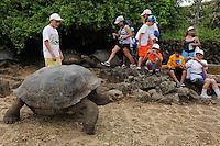 Galápagos tortoise or Galápagos giant tortoise (Chelonoidis nigra), Santa Cruz island, Galapagos, Ecuador. Captive.