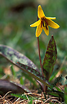 Trout lily canada erythrone americanum ker, yellow