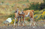 2 juvenile Guanacos wrestling with their necks.Torres del Paine National Park, Chile
