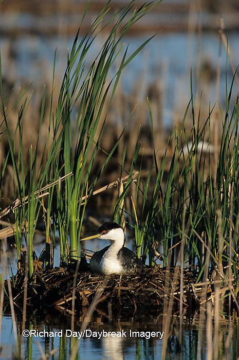 00606-00218 Western Grebe (Aechmophorus occidentalis) on nest, Waubay NWR Mgmt Area  Waubay  SD