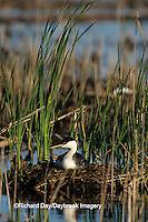 00606-00218 Western Grebe (Aechmophorus occidentalis) on nest, Waubay NWR Mgmt Area  Waubay  SD