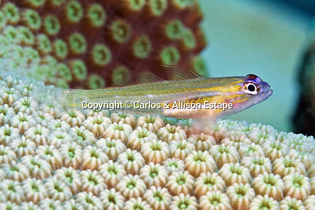 Coryphopterus lipernes, Peppermint goby, Bonaire