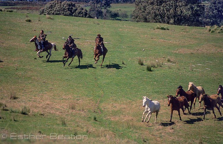 """Mountain Cattlemen, or stockmen, chasing wild horses across meadow in """"High Country"""". Snowy Mountains, Victoria."""