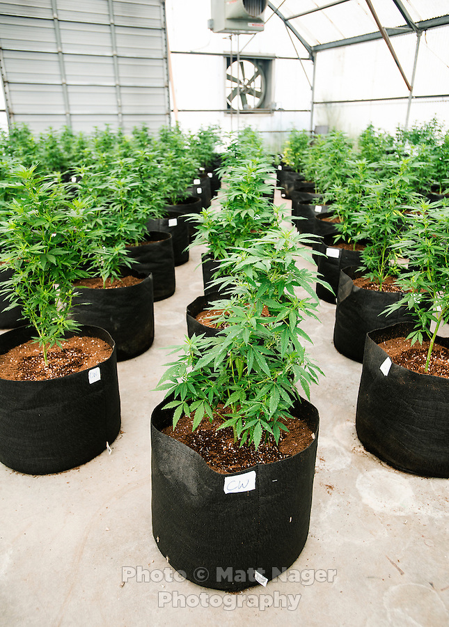One of the Stanley Brother's greenhouses with industrial grade hemp in Wray, Colorado, Monday, September 22, 2014. The Stanley Brothers have developed a popular strain of marijuana that has been found to be helpful in reducing seizures. The marijuana high in CBDs and low in THC, the chemical which gets a person stoned.<br /> <br /> Photo by Matt Nager