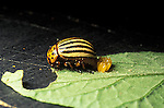 Colorado potato beetle Leptinotarsa decemlineata depositing egg mass