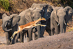 Impala and African elephants, Mashatu Reserve, Botswana
