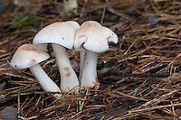 Gefleckter Rübling, Gefleckter Rosasporrübling, Gefleckter Rosaspor-Rübling, Rhodocollybia maculata, Collybia maculata, Spotted Toughshank, Spotted Toughshank mushroom, spotted coincap