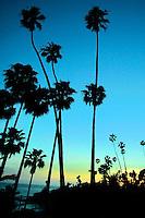 Palm Trees at Dusk in Laguna Beach California
