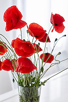 Vibrant red poppies in a glass vase.