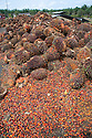 A large pile of oil palm fresh fruit bunches (FFBs) with a scattering of loose fruits awaiting inspection and processing at the mill. The Sindora Palm Oil Mill, owned by Kulim, is green certified by the Roundtable on Sustainable Palm Oil (RSPO) for its environmental, economic, and socially sustainable practices. Johor Bahru, Malaysia