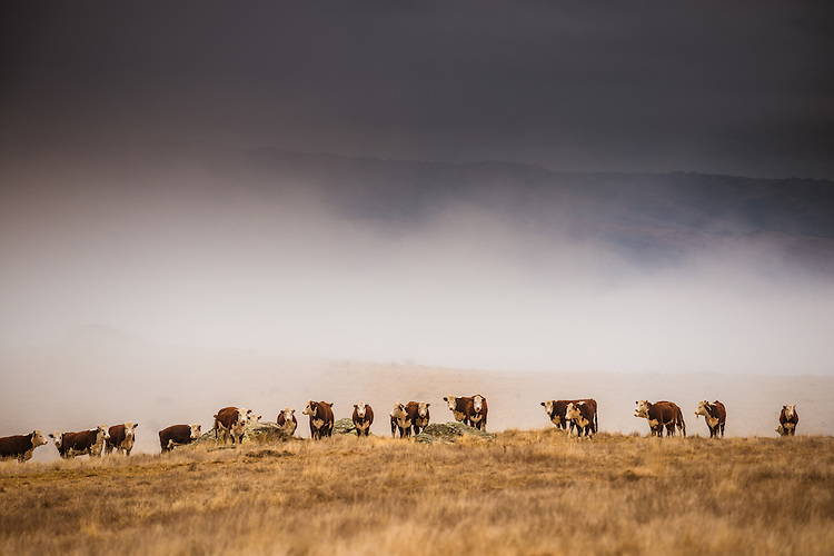 Hereford Cattle in the mist near Paerau -Maniototo, Central Otago, New Zealand - stock photo, canvas, fine art print