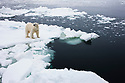 Norway, Svalbard, male polar bear on ice floe