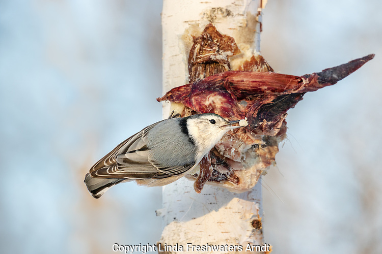 White-breasted nuthatch eating deer scraps that were nailed onto a birch tree in northern Wisconsin.