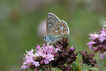 Brown Argus Butterfly, Aricia agestis, Queensdown Warren, Kent Wildlife Trust, UK, nectaring on flower, underside of wings