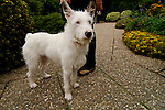 West highland terrier, Westhighland Terrier, Hund, Dog, Insel Mainau, Island of Mainau, Bodensee, Lake Constance, Baden Würtemberg, Germany, Deutschland