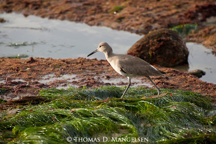 A willet walks along the beach at low tide in La Jolla, California.