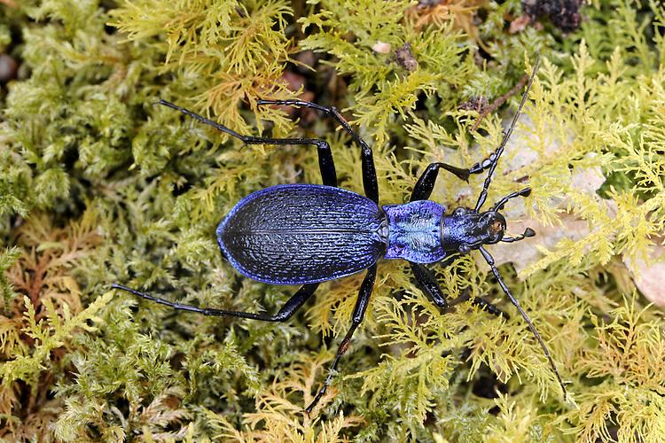 Blue Ground Beetle - Carabus intricatus