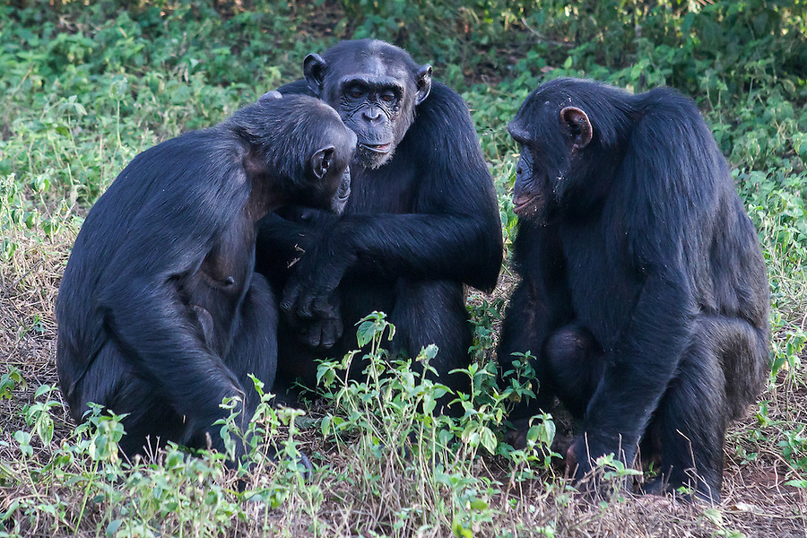 Chimps are photographed in the Ngamba Island Chimpanzee Sanctuary in Lake Victoria, Uganda. 03/15 Julia Cumes/IFAW