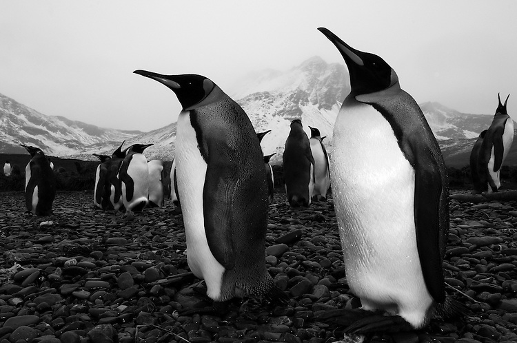 A small colony of King Penguin (Aptenodytes patagonicus) , Jason harbour, South Georgia