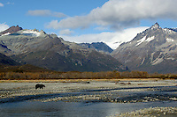 Grizzly Bear fishing for Salmon in the Katmai National Park located at the head of the Alaska Peninsula in Alaska, USA.