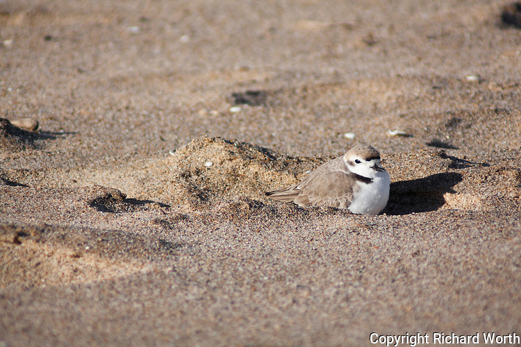 A Western snowy plover on the beach at Pigeon Point Lightstation State Historic Park.  The Pacific Coast population of the western snowy plover is federally listed under the Endangered Species Act of 1973 as threatened. The western snowy plover is a Bird Species of Special Concern in California.