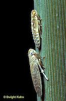 PH03-005e  Planthoppers short winged - nymph above, adult below -  Prokelisia marginata