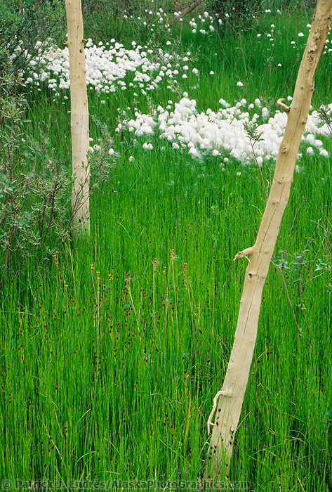 Alaska cotton grass in the green tundra wetlands, Brooks range, Alaska