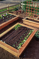 Seedling vegetables in wooden box raised beds in small space front yard garden