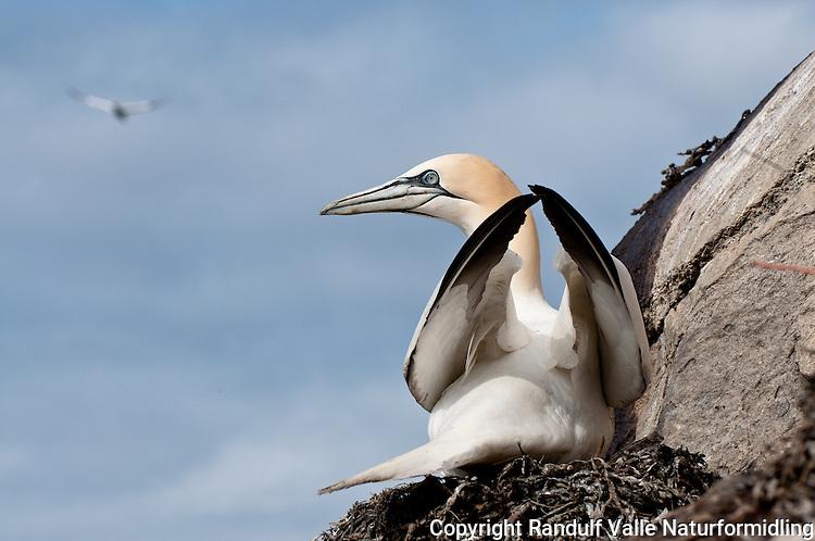 Havsule på reir. ---- Northern Gannet on nest.