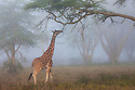 Kenya, Lake Nakuru National Park, Rothschild's giraffe in forest, morning fog
