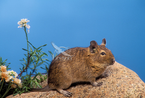 Degu/Common Degu (Octodon degus). Native to Chile. Popular as pets. Controlled situation.