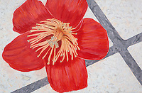 """Hero Tree Flower. Chaozhou. (Guangdong Province, CH.)  Continental Drift. <br /> Color Pencil on paper.26"""" x 40"""". <br /> Judy Byron. 2013<br /> Photo credit: Rick Reinhard"""