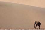 Namibia;  Namib Desert, Skeleton Coast, Hoarusib River, desert elephant (Loxodonta africana) walking in river bed in front of large sand dune