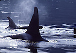orca pod in Johnstone Strait